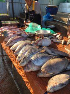 Le poisson une source de protéines animales